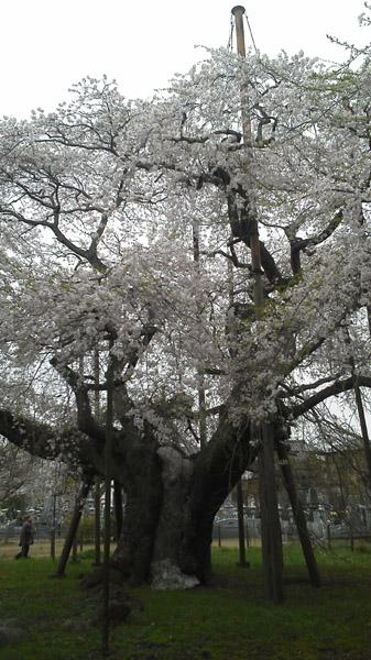 龍ヶ崎市の般若院のしだれ桜